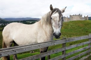 Rare pony breed by the Ruthven Barracks in Scotland