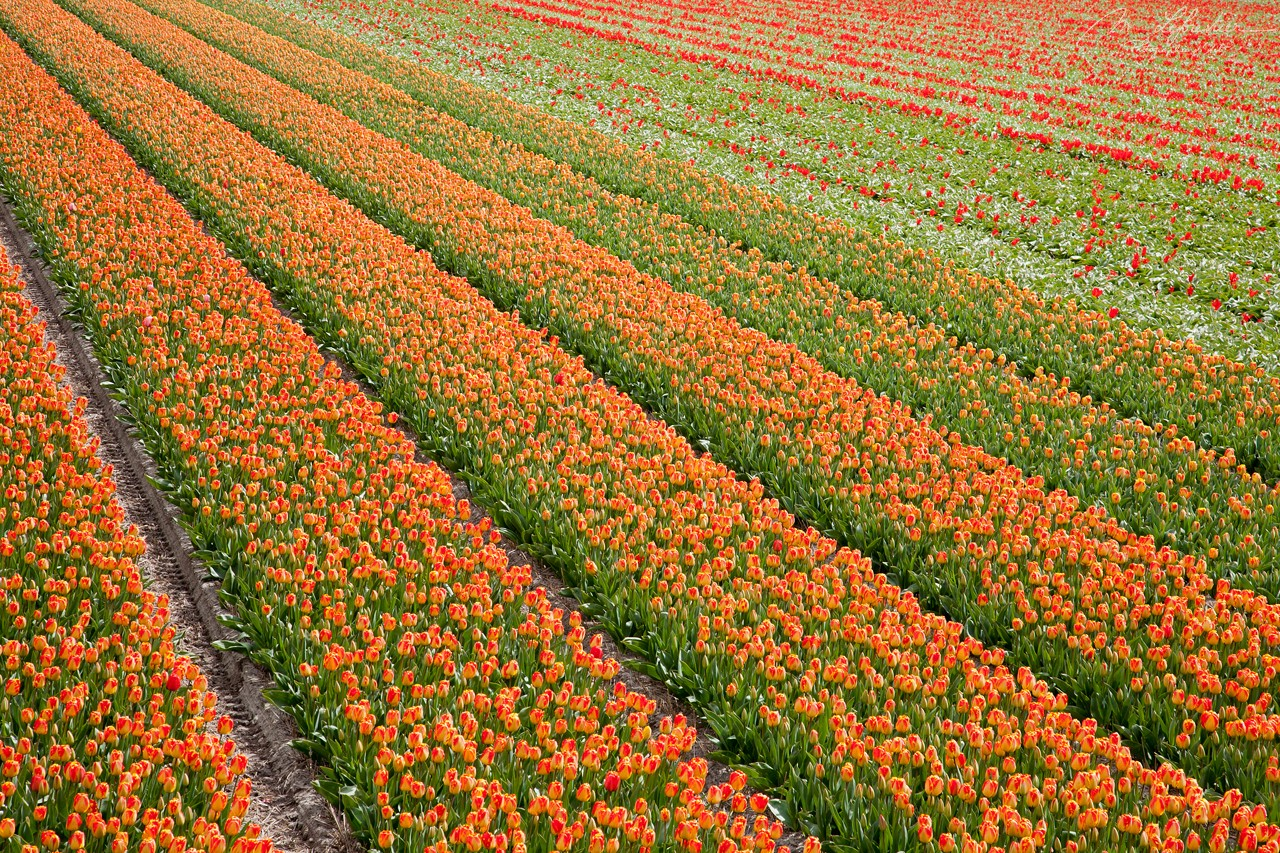 Netherlands: see the beautiful tulip fields by Lisse