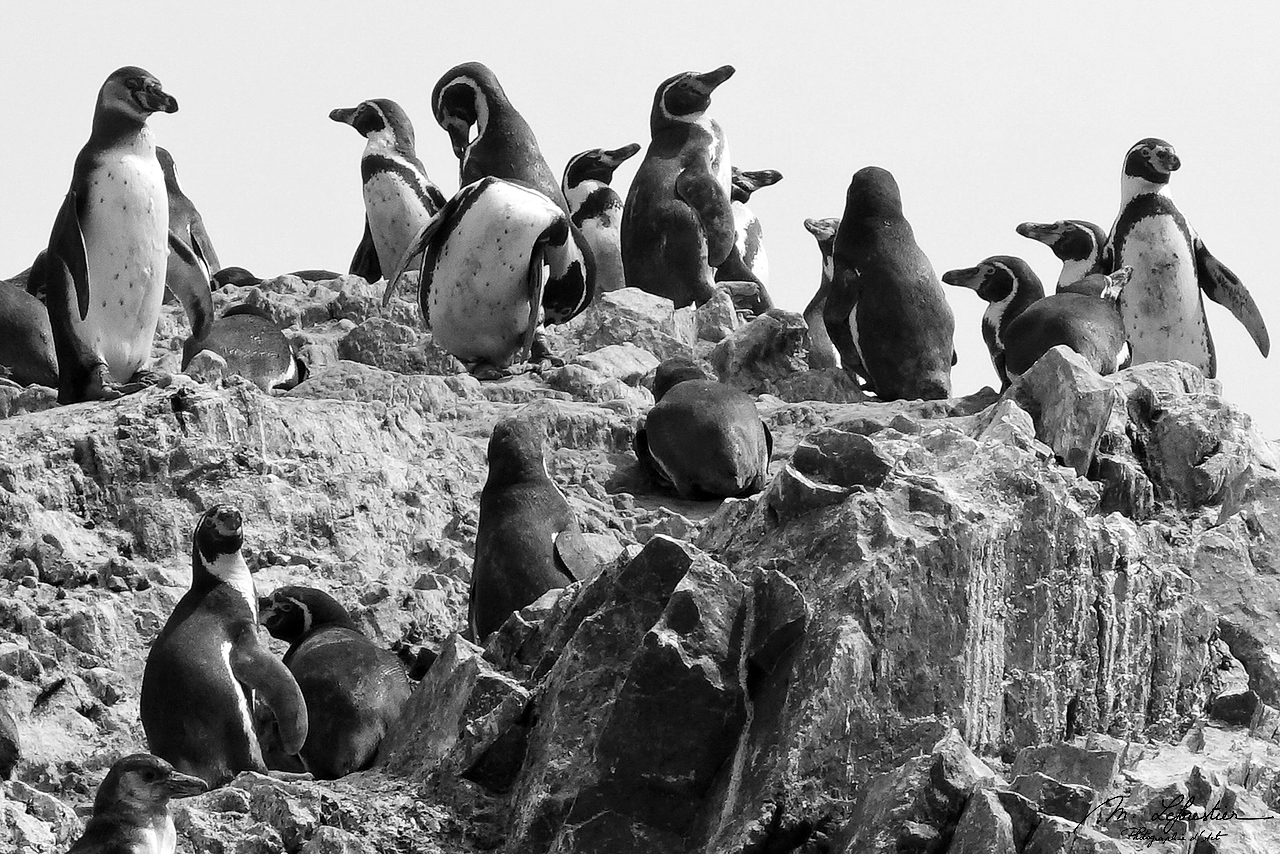 Peru: visit the mini Galapagos in Islas Ballestas