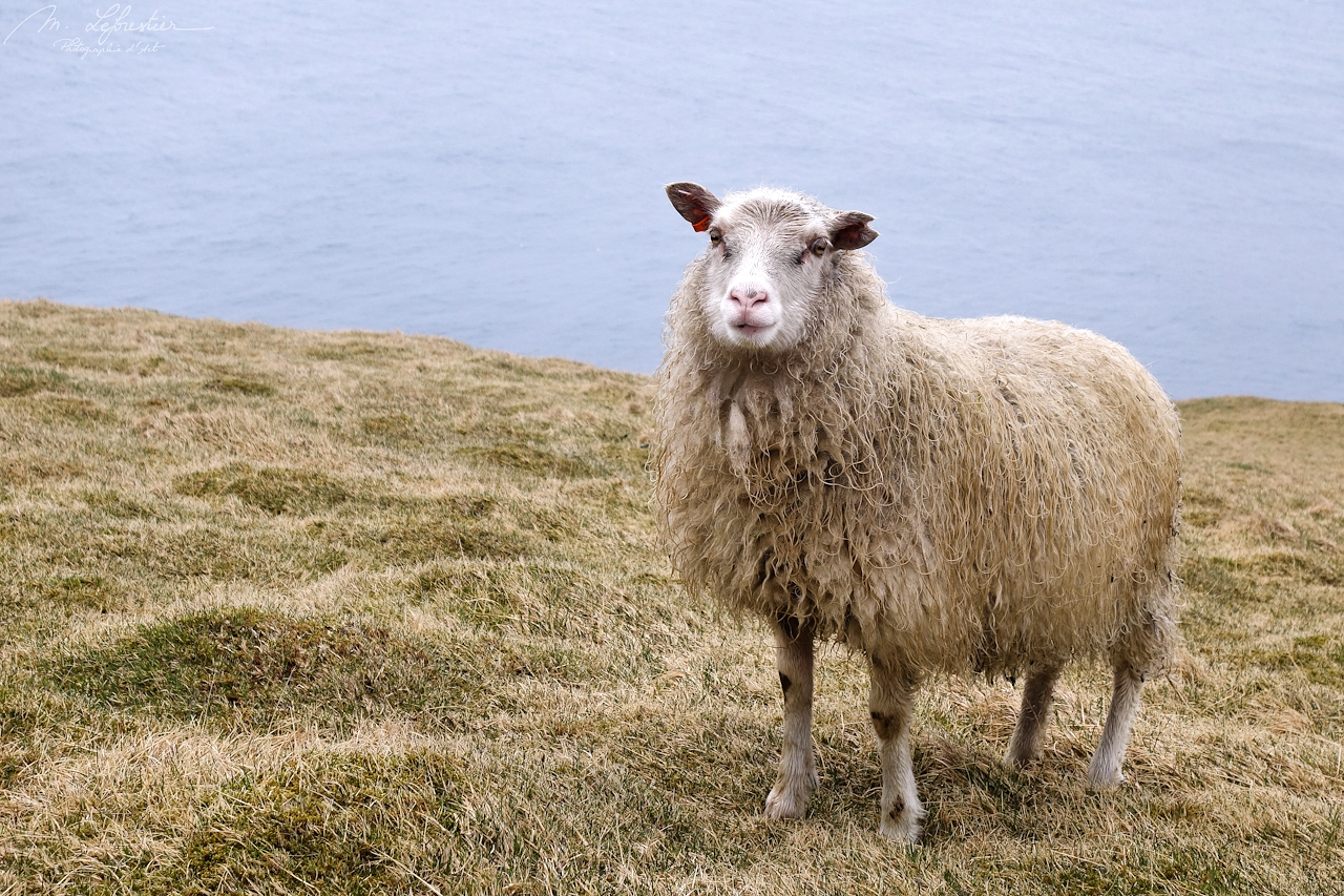 Iceland: meet adorable animals in Heimaey island