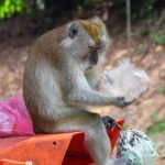 a monkey is sitting on a litter bin in Langkawi island in Malaysia and picking up trash