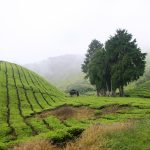foggy view of Cameron Highlands tea plantations in Malaysia