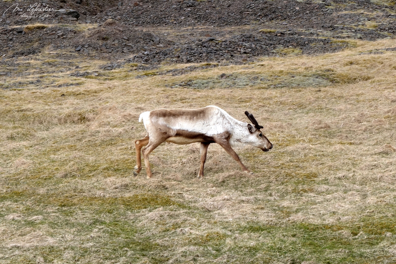 Iceland: spot wild reindeers in the East of the Country
