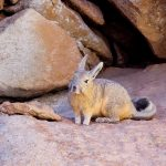 A viscacha in the bolivian desert with a curled tail while at rest
