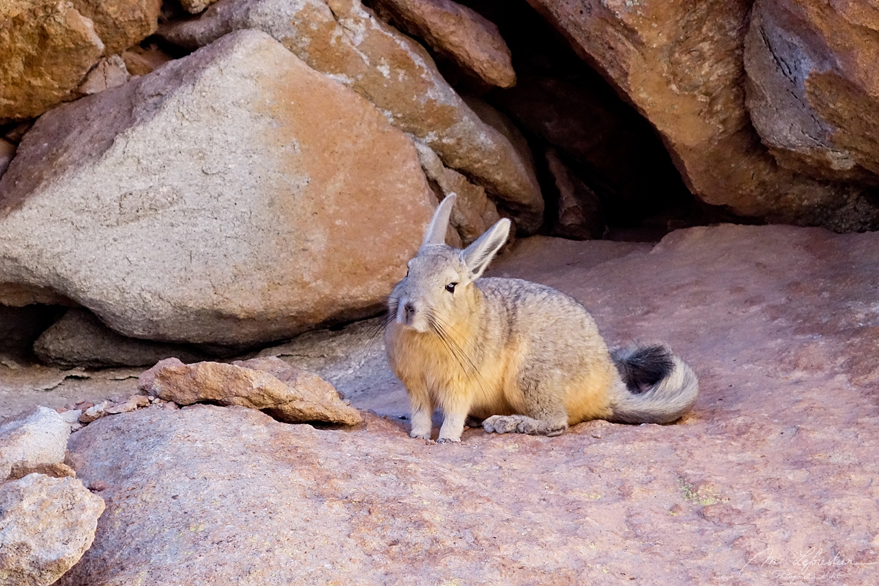 Bolivia: search for Viscachas in the desert