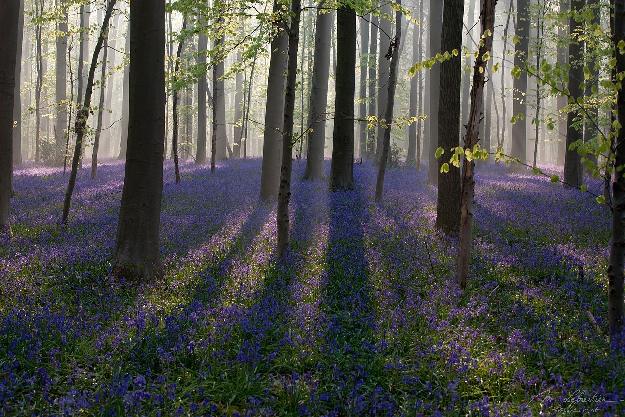 Belgium: take a walk in the enchanted forest of Hallerbos